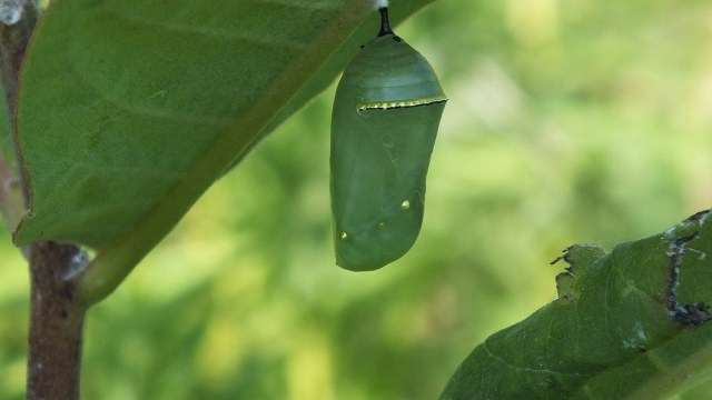 a monarch-butterfly-chrysalis