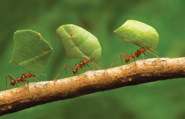 leafants